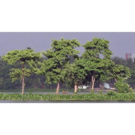 Burflower-Tree, Laran Seeds (Neolamarckia cadamba) 2.35 - 10