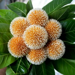 Burflower-Tree, Laran Seeds (Neolamarckia cadamba) 2.35 - 11