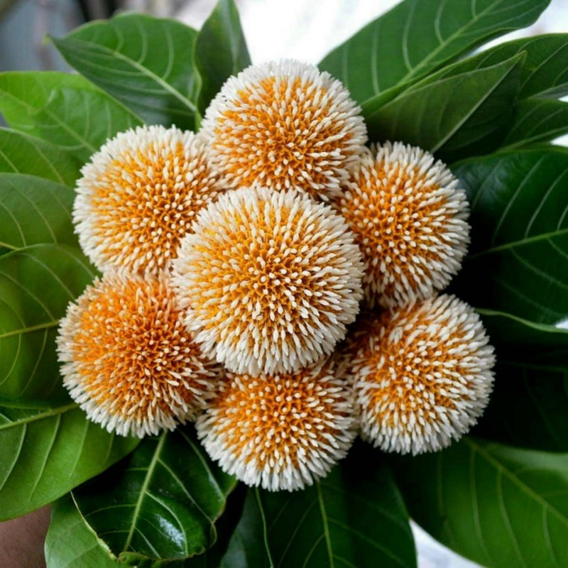 Burflower-Tree, Laran Seme (Neolamarckia cadamba) 2.35 - 11