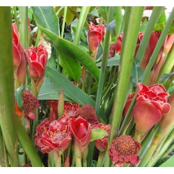 Edible Torch Ginger Seeds (Etlingera elatior) 1.85 - 7