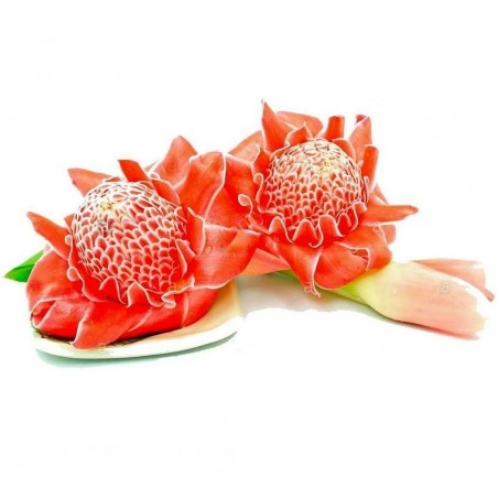 Edible Torch Ginger Seeds (Etlingera elatior) 1.85 - 1
