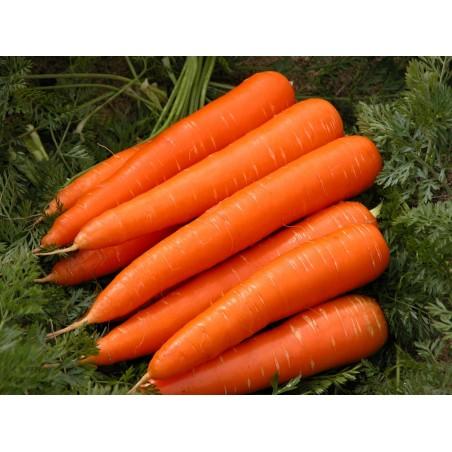 20g - 14.000 Seeds Danvers Carrot Seeds 8.5 - 2