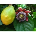 Passiflora quadrangularis Seeds Passion Flower - Passion Fruit