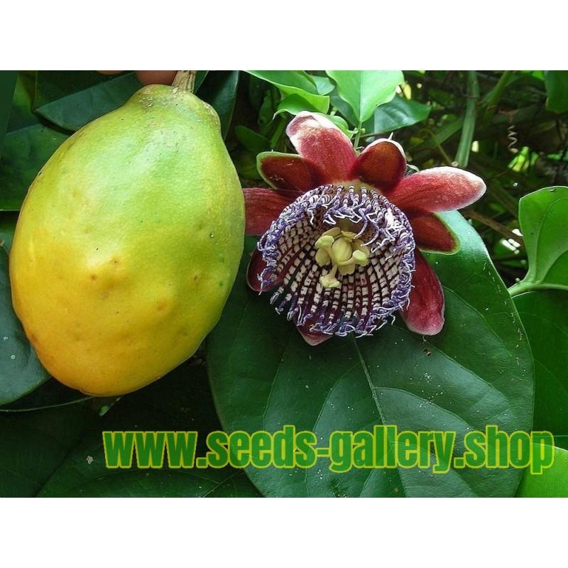 Passiflora quadrangularis Passionsblomssläktet Frön