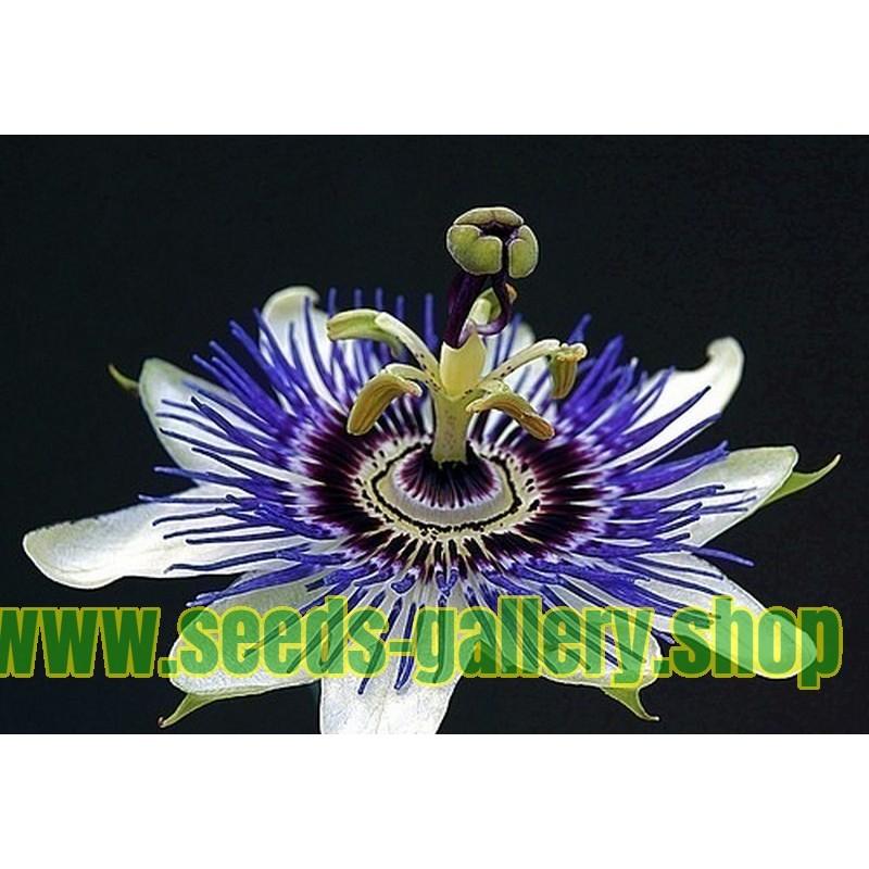 Graines Fleur De Passion Passiflora Ligularis