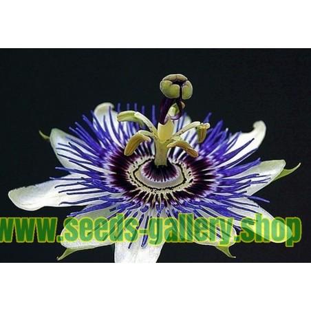 Passionsblomssläktet Frön - Passiflora ligularis
