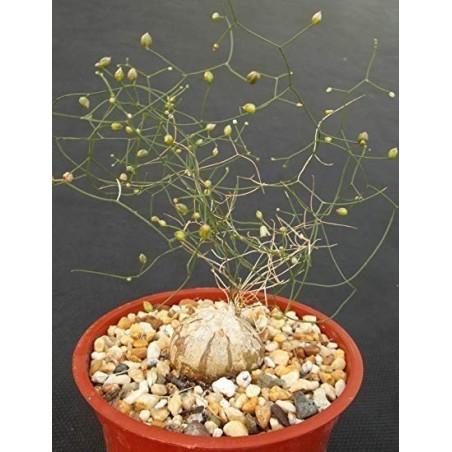 Schizobasis Intricata Seeds - Caudex Forming Succulent 4.85 - 2
