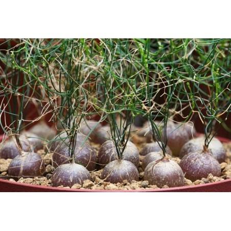 Schizobasis Intricata Seeds - Caudex Forming Succulent 4.85 - 7