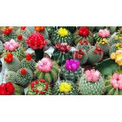 Sementes de Cactus Mix - Cactos Ornamentais 2.25 - 1
