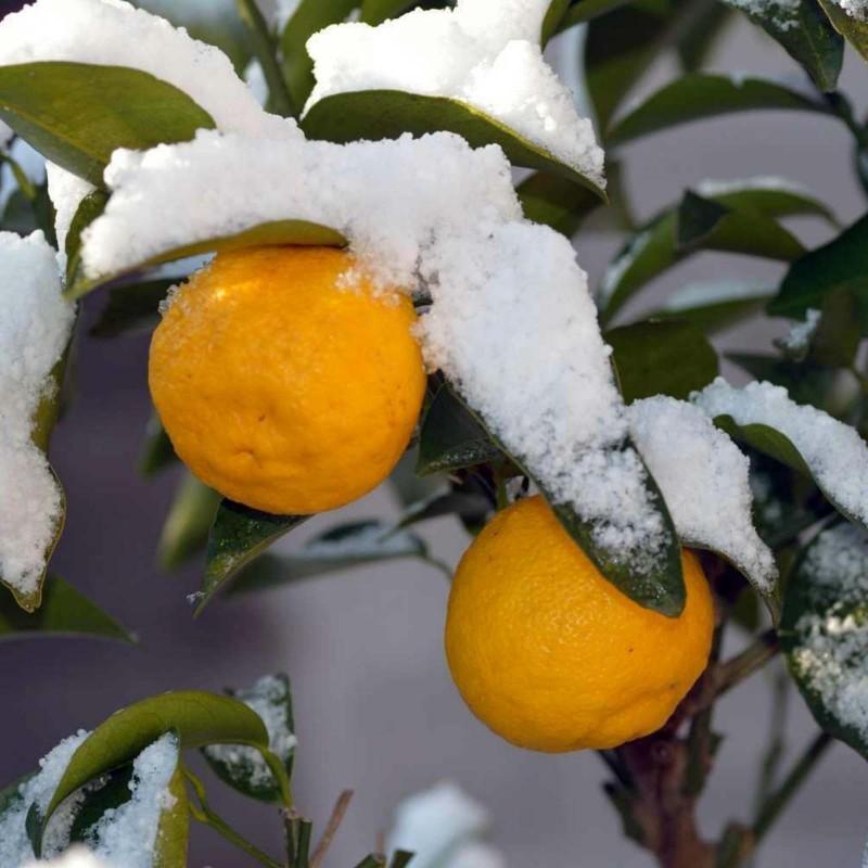 Yuzu Frön Japansk citrusfrukt -20 ° C (Citrus junos) 4.15 - 1