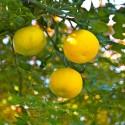 LETTUCE BRASILIANA Seeds