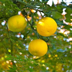 Yuzu Seeds Japanese citrus fruit -20°C (Citrus junos) 4.15 - 7