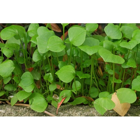 Winter Purslane, Indian Lettuce Seeds (Claytonia perfoliata) 1.95 - 3