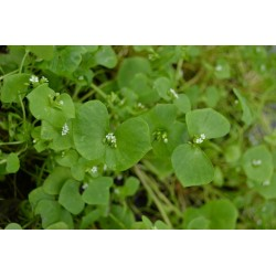 Winter Purslane, Indian Lettuce Seeds (Claytonia perfoliata) 1.95 - 4