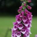 Purple Calabash Paradajz Asteka Seme