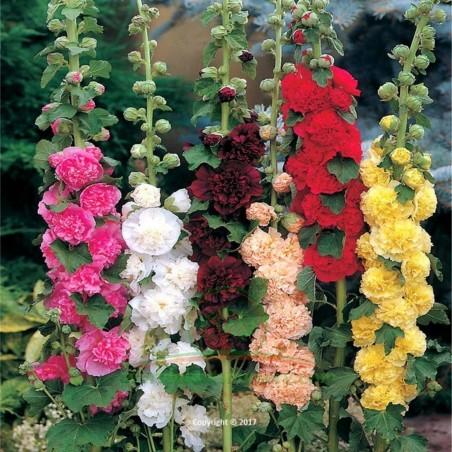 Hollyhock Alcea rosea Majorette Mix