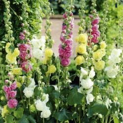 Σπόροι Alcea rosea 1 - 1