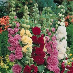 Hollyhock Alcea rosea Majorette Mix 1 - 2