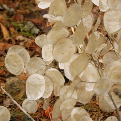 Honesty Silver Pennies Seeds (Lunaria annua) 2.5 - 1