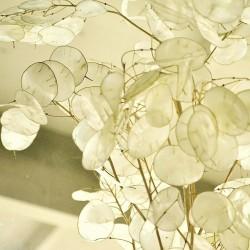 "Semillas de ""monedas del Papa"" (Lunaria annua) 2.5 - 2"