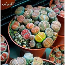 Graines de Lithops 1.5 - 1