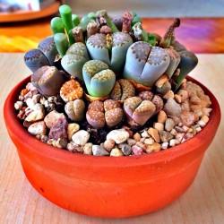 "Sementes de Lithops ""Pedras..."