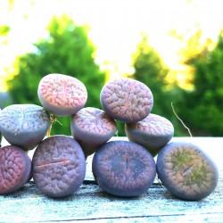 Semillas de Lithops Piedras Vivas 1.5 - 2
