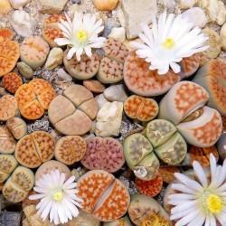 """Sementes de Lithops """"Pedras Vivas""""  Mix 1.5 - 3"""