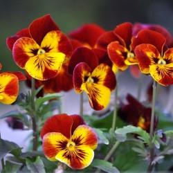 Sementes de Amor-perfeito (Viola tricolor) 1.85 - 1