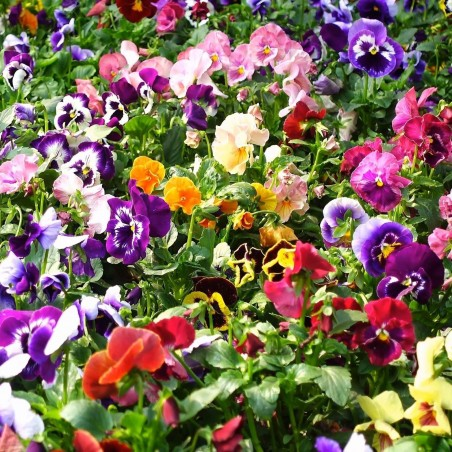 Sementes de Amor-perfeito (Viola tricolor) 1.85 - 2
