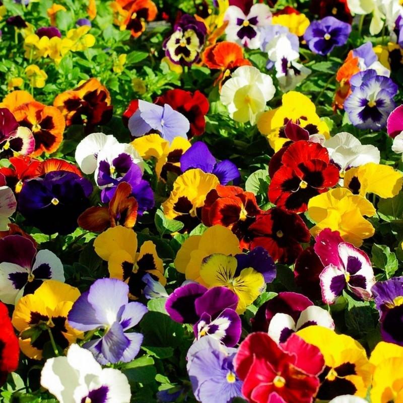 Sementes de Amor-perfeito (Viola tricolor) 1.85 - 3