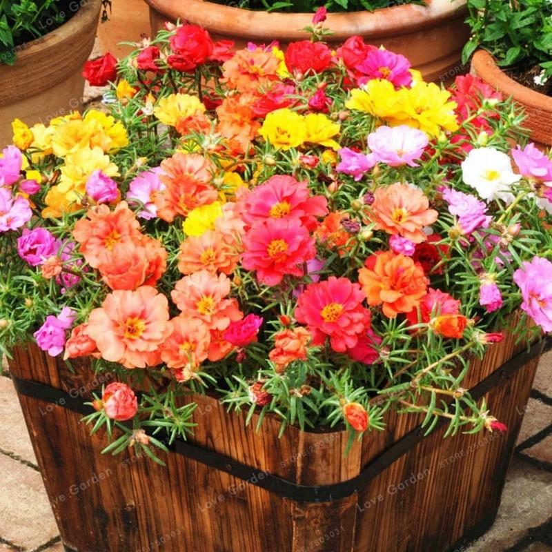 Verdolaga de flor, Flor de seda 2.5 - 1