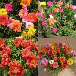 Verdolaga de flor, Flor de seda 2.5 - 2