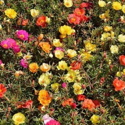 Verdolaga de flor, Flor de seda 2.5 - 4