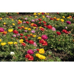 Σποροι Portulaca Grandiflora 2.5 - 5