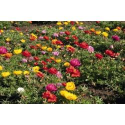 Verdolaga de flor, Flor de seda 2.5 - 5