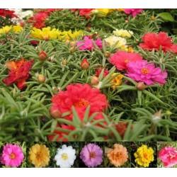 Verdolaga de flor, Flor de seda 2.5 - 3