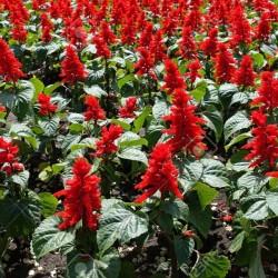 Scarlet Sage - Tropical Sage Seeds (Salvia splendens) 2 - 2