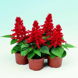 Scarlet Sage - Tropical Sage Seeds (Salvia splendens) 2 - 3