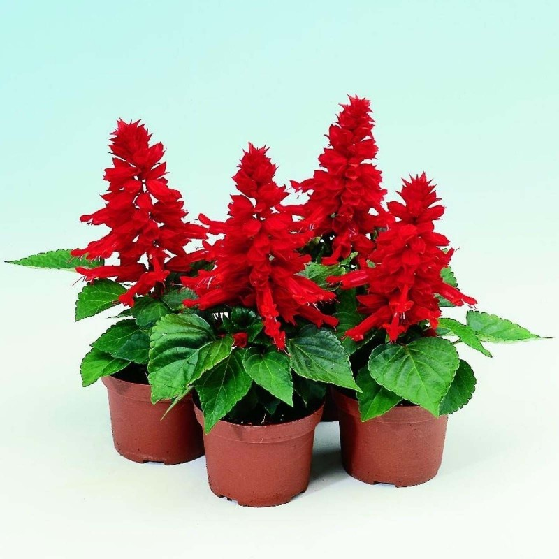 Scarlet Sage - Tropical Sage Seeds (Salvia splendens) 2 - 3