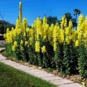 Cylindrical Radish Seeds Flamboyant 3