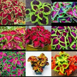 Solenostemon Seeds (coleus) Wizard Mixed Colors 1.55 - 5