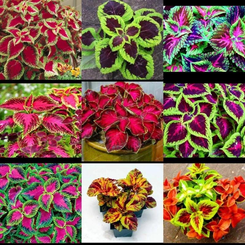 Κολεός - Coleus σπόρων Μικτά χρώματα 1.55 - 5