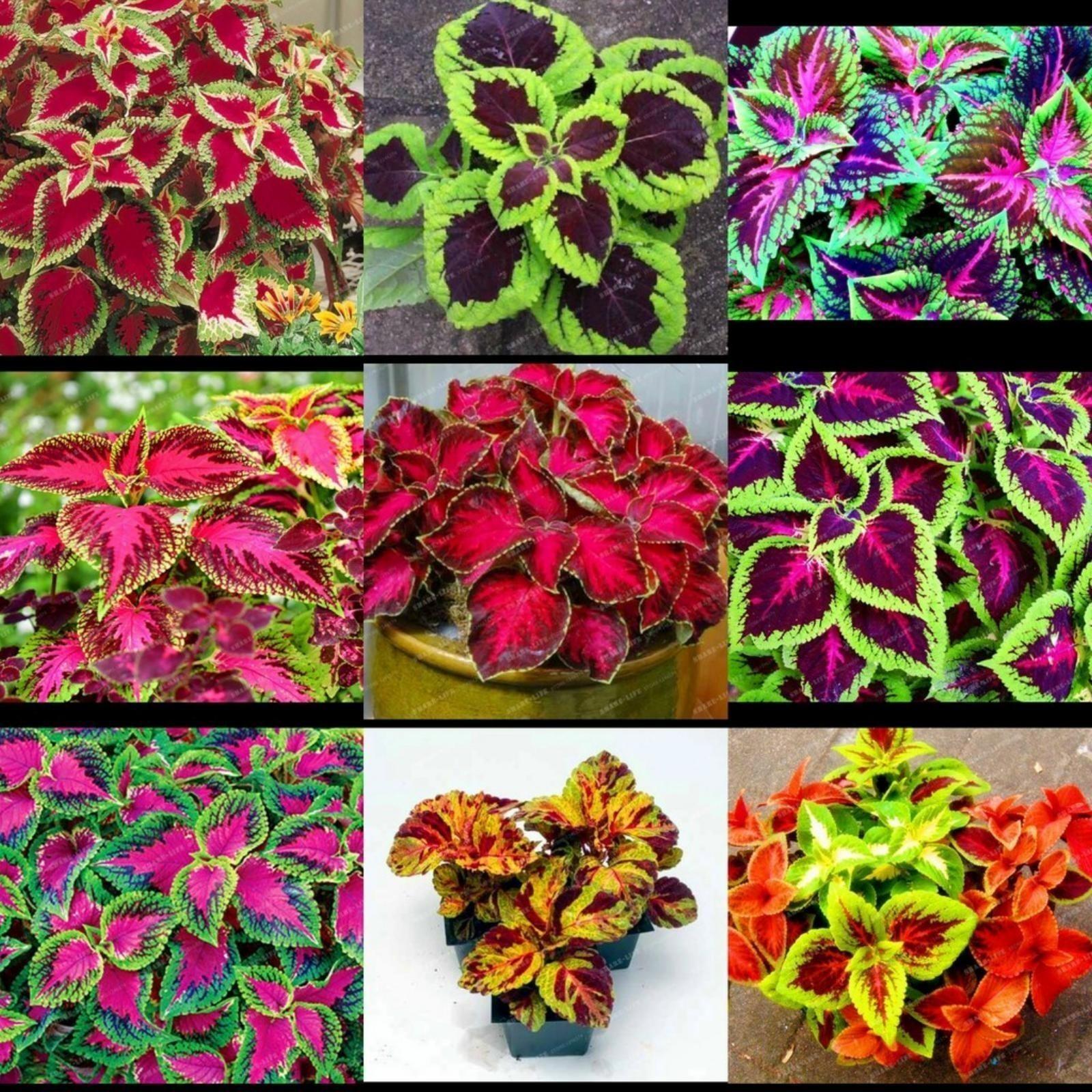 Semillas de r bano flamboyant 3 for Semillas de cactus chile
