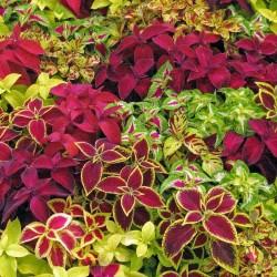 Κολεός - Coleus σπόρων Μικτά χρώματα 1.55 - 1