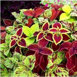 Κολεός - Coleus σπόρων Μικτά χρώματα 1.55 - 2