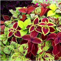 Solenostemon Seeds (coleus) Wizard Mixed Colors 1.55 - 2