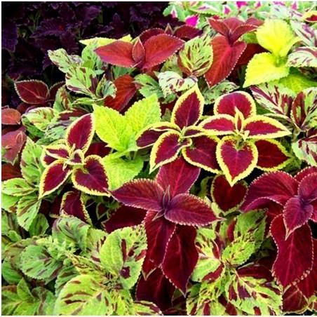 Solenostemon Seeds (coleus) Wizard Mixed Colors 1.55 - 2
