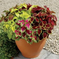 Solenostemon Seeds (coleus) Wizard Mixed Colors 1.55 - 3