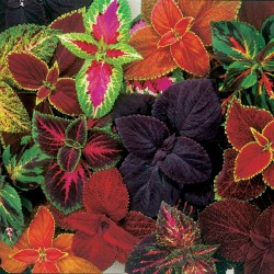Solenostemon Seeds (coleus) Wizard Mixed Colors 1.55 - 4
